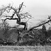 dead tree at Wimpole Hall