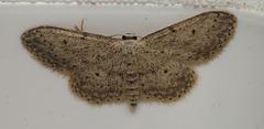 Moth IMG 6654