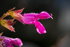 Pictures for Pam, Day 104: Salvia  Greggii Blossom