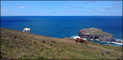Shetland ponies and Gull Rock, Portreath. For Pam