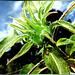 Ladybug at Sunflower bud... ©UdoSm