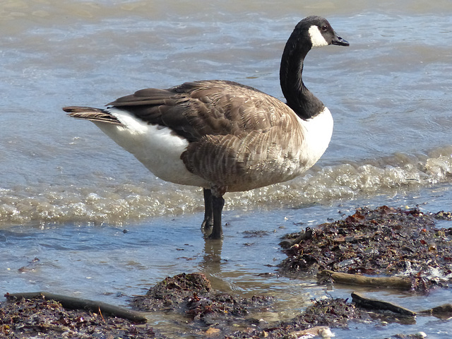 The Geese of Akaroa (2) - 28 February 2015