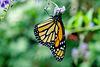 HUNAWIHR: Jardins des papillons 30