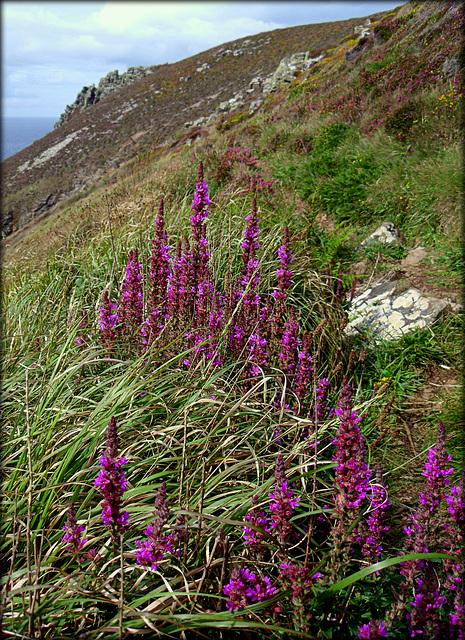 Purple loosestrife, Tubby's Head