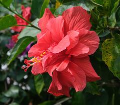 A Florida Hibiscus