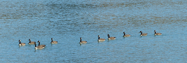 The Geese of Akaroa (3) - 28 February 2015