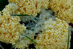 Slime Mould. Mucilago crustacea