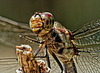 Dragonfly.   7267982
