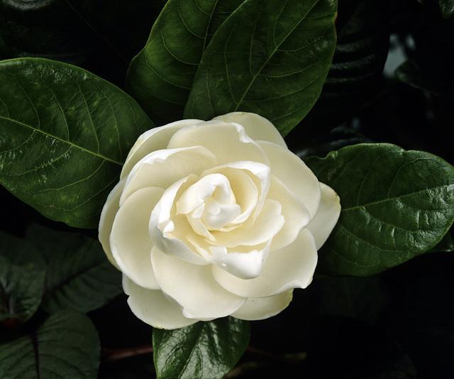 photo gardenia-6