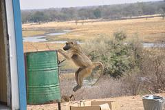 Paviano saltanta rubujen :). Ngoma, landlimo inter Namibio kaj Bocvano