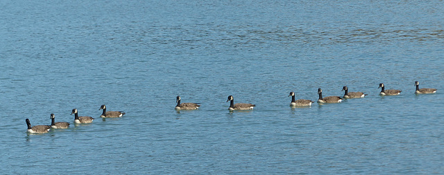 The Geese of Akaroa (4) - 28 February 2015