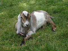 Goat at the Sandburg Home