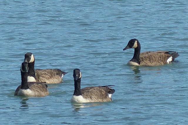 The Geese of Akaroa (5) - 28 February 2015