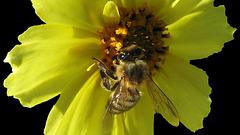 Honey Bee at Work (Explored)
