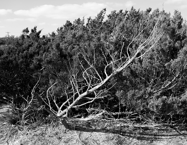 Leafless and leaning