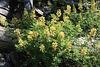 Yellow-flowering lupine