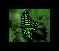 Green-Spotted Triangle Butterfly