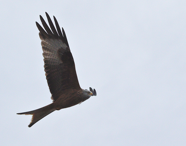 EF7A0138 Red Kite