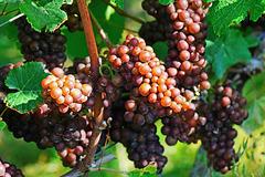 Pinot grigio – Pinot gris – Grauburgunder