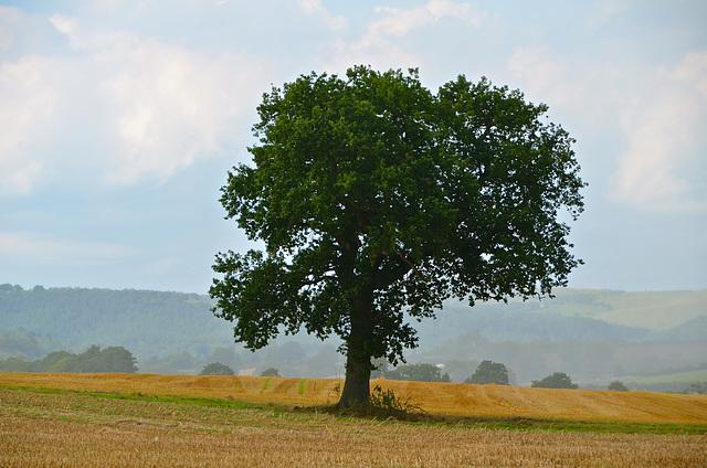 Lone tree near Denstone