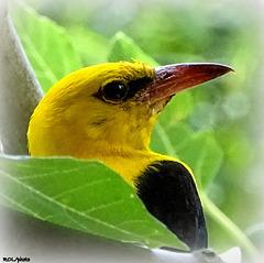 Un oiseau venu d'Afrique qui m'a fait l'honneur de se montrer dans mon figuier à quelques mètres de moi