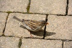 Grimma 2015 – Sparrow