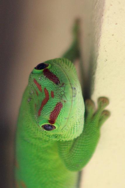 Gecko Attitude