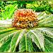 Palmfarn. ©UdoSm