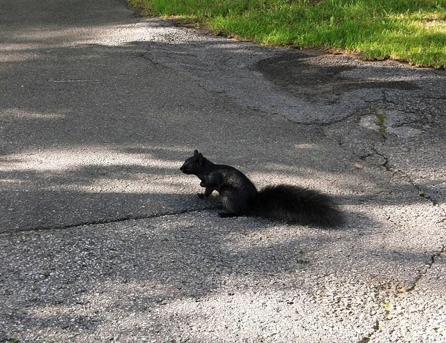 Le chemin de croix de l'écureuil