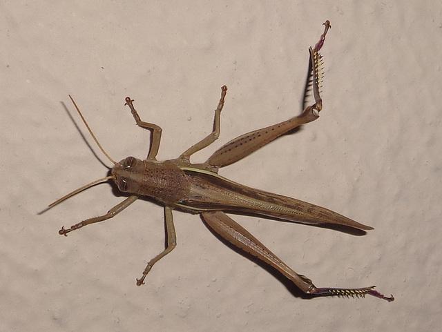 DSC07204 - gafanhoto Schistocerca cf. cancellata paranensis, Acrididae Caelifera Orthoptera