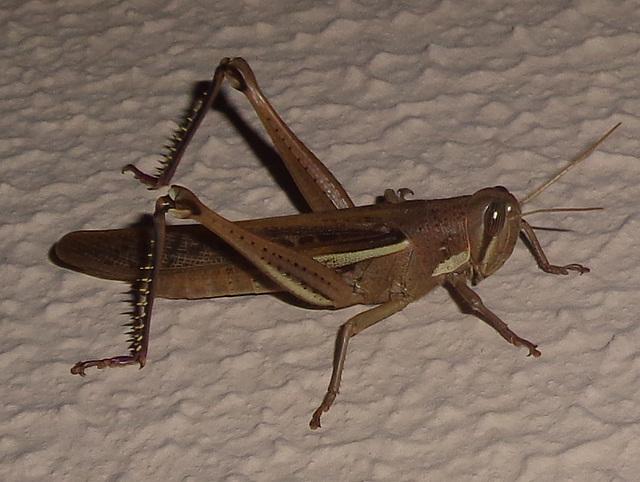DSC07206 - gafanhoto Schistocerca cf. cancellata paranensis, Acrididae Caelifera Orthoptera