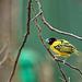 Village weaver bird (7)