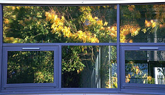 Trees. Reflections in the glass