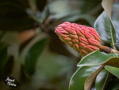 258/366: Seed Pod on Magnolia Grandiflora