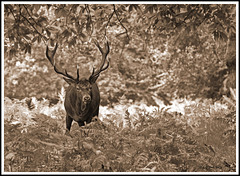 Sepia Red Deer Stag