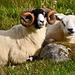 Sheep on Uist