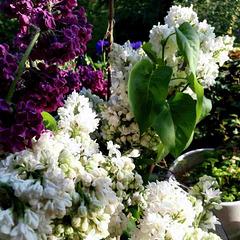wenn der Flieder wieder blüht - when the lilac blossoms again