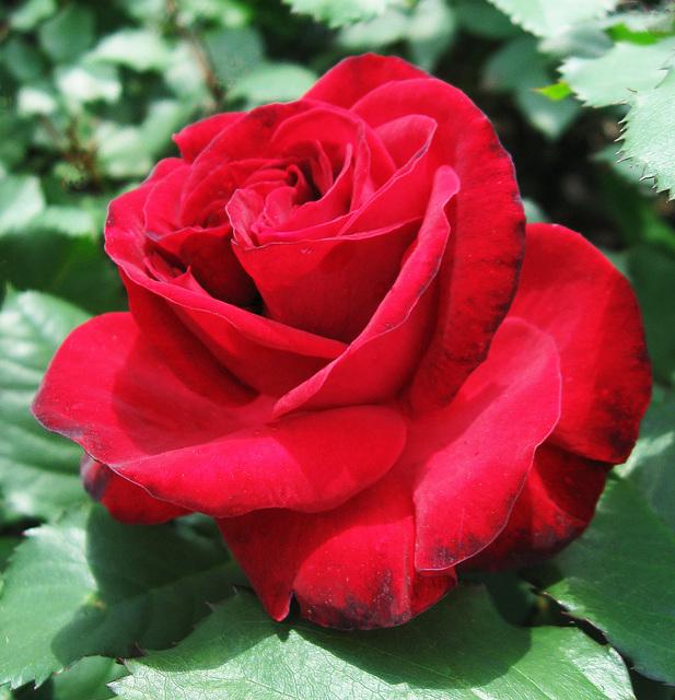 Floribunda Rose 'Travemunda' (1968)