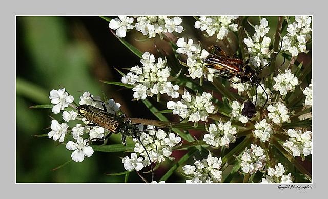 Les Longicornes aiment les Ombellifères ...