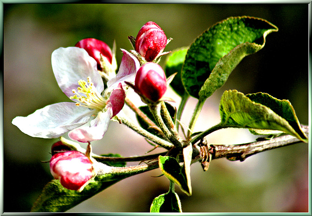 Apple blossoms... ©UdoSm