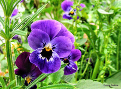 Pansies In The Weeds