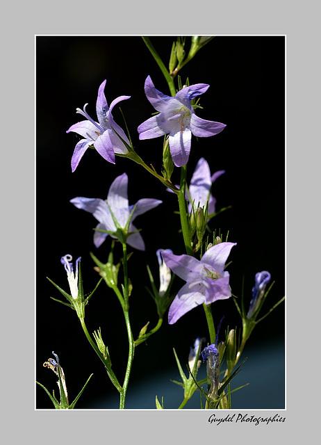 Humeur Fleur Bleue ...