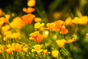 California Poppies (2)