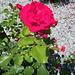 Rose de l'été dernier...
