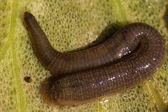 20160703 2001VRMw [D~RI] Rollegel (Erpobdella octoculata), [Achtäugiger Schlundegel], Rinteln