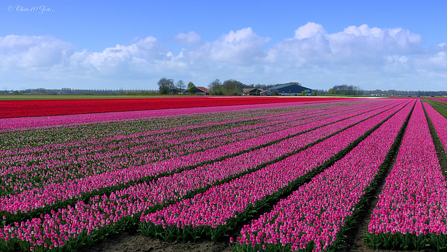 Pink Tulips under a lovely Sky in our Flevopolder....
