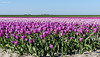 Purple Tulip field...