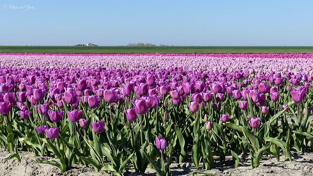 Purple Tulip field...