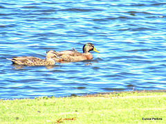 In Hamilton Lake, A Duck And A Drake.