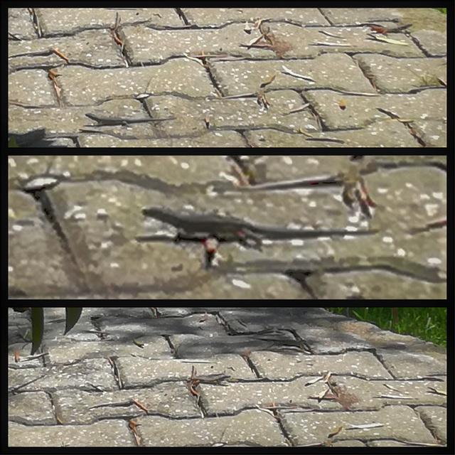 My garden lizards
